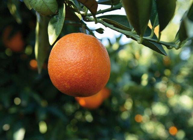 Le Arance Rosse di Oranfrizer