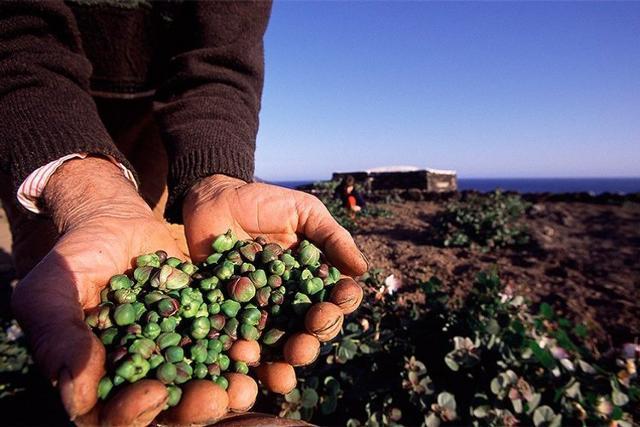 Durante la raccolta dei capperi di Pantelleria