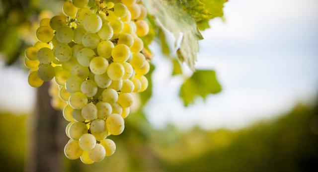 L'Uva da Tavola di Canicattì
