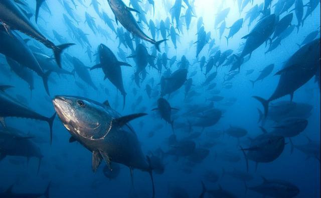 Banco di tonni rossi