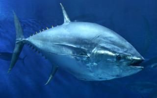 Via libera all'aumento delle quote di pesca del tonno rosso