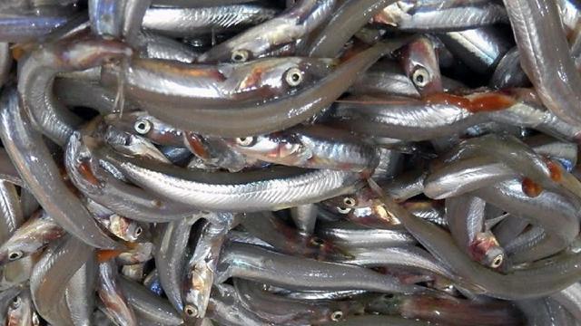 Dopo 8 anni in Sicilia torna la pesca di cicirello e rossetto