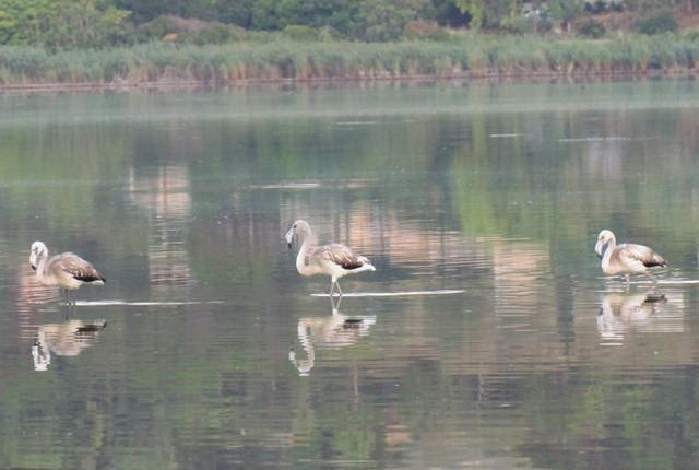 Fenicotteri nel Lago di Pergusa