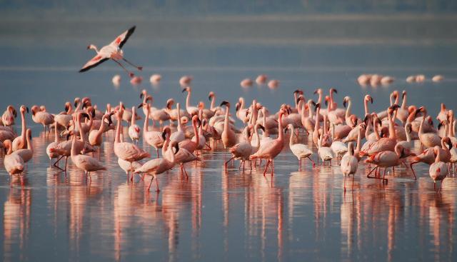 Sulle tracce del Fenicottero rosa, simbolo di fascino ed eleganza