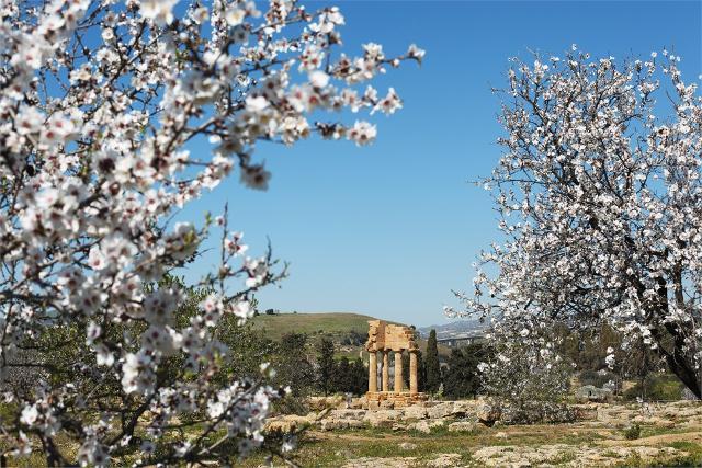 Mandorli in fiore nella Valle dei Templi