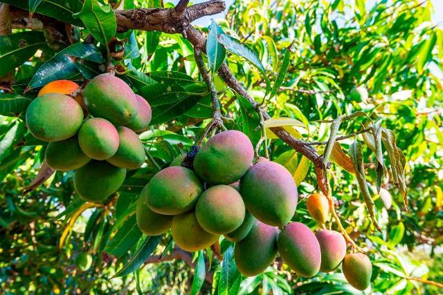 Coltivazione di mango in Sicilia