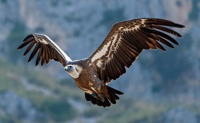 Grifone in volo - Rocche del Crasto