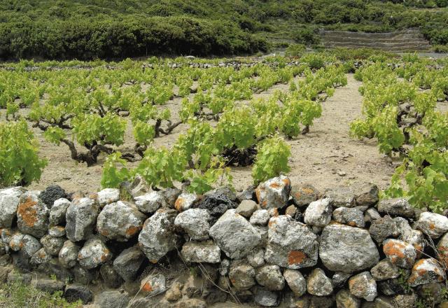 """La pratica agricola della """"Vite ad alberello di Pantelleria"""" è tra i Patrimoni Immateriali dell'Umanità Unesco"""