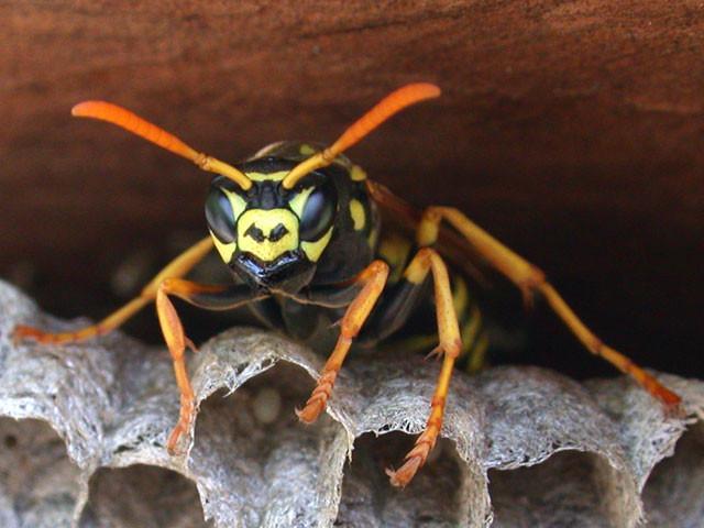 Una vespa fa capolino dal suo nido