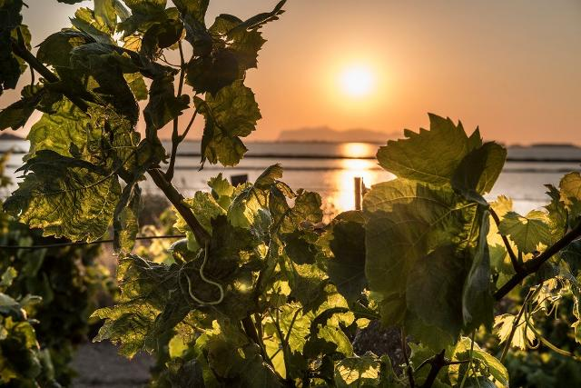 Le vigne Pellegrino a Marsala