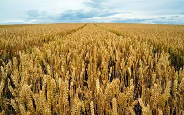 Il 25 luglio è il ''Selinunte Day'': al via la mietitura del grano