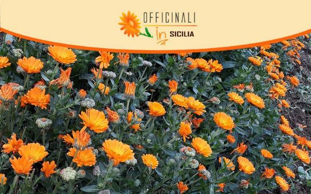 Torna Officinali IN Sicilia