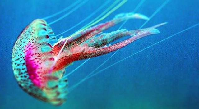 "Pelagia noctiluca conosciuta con il nome di ""medusa luminosa"""