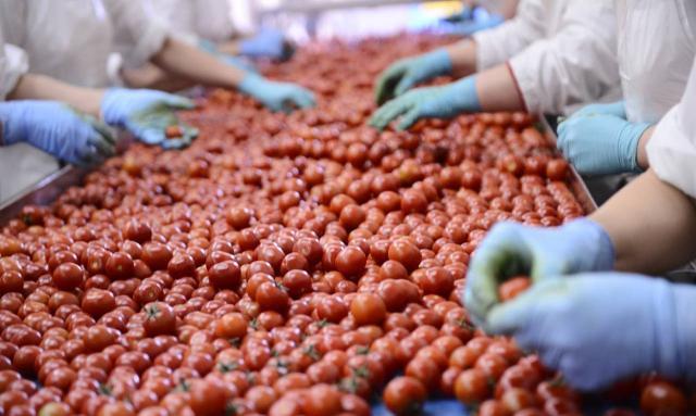 Lavorazione del pomodoro di Pachino IGP