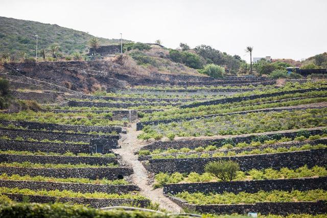 Terrazzamento di vigne ad alberello a Pantelleria