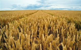 Il 25 luglio è il Selinunte Day: al via la mietitura del grano