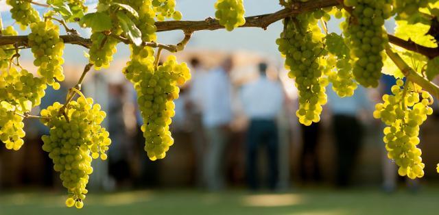 Grappoli di uva Chardonnay