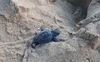 Nate 10 tartarughe tra i bagnanti sulla spiaggia di Erice