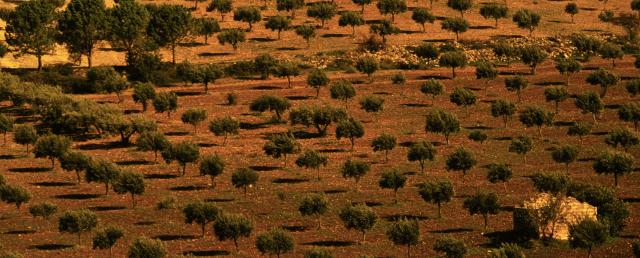 Uliveto siciliano