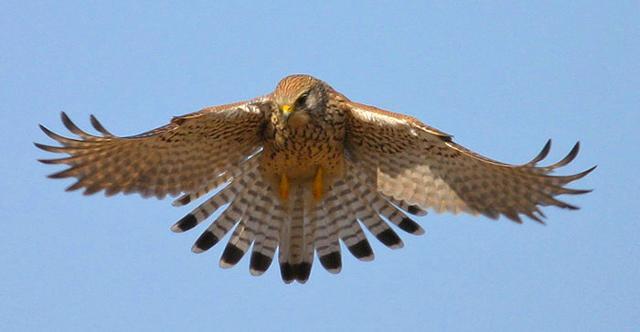 Un falco pellegrino in volo sopra il Parco dell'Etna