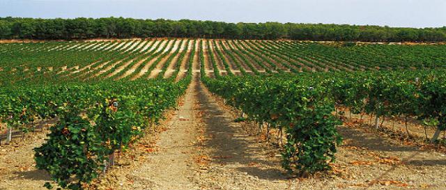 La tecnica di coltivazione del Frappato nella zona di Vittoria prevede la potatura costante affinché la resa sia limitata e i frutti crescano a 70/80 cm dal suolo, mantenendo così una ricchezza di estratti che altrimenti andrebbe smarrita