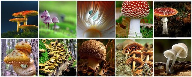 Raccogliendo funghi, il più grande fattore a cui fare attenzione è il riconoscimento. L'attenzione data ai particolari deve essere minuziosa...