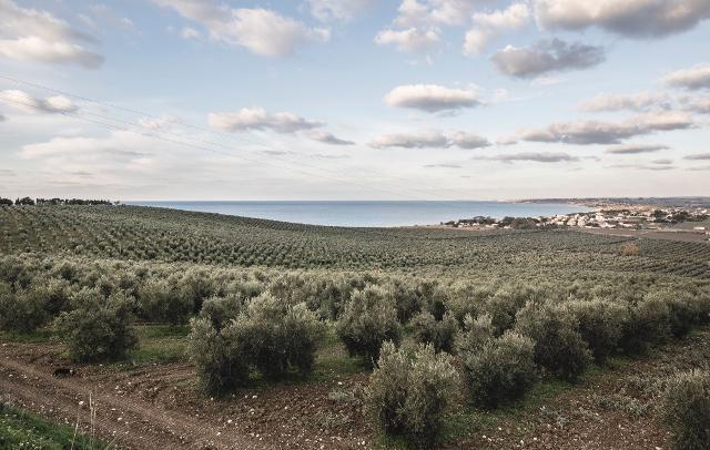 L'oliveto Planeta di Capparrina (Menfi)