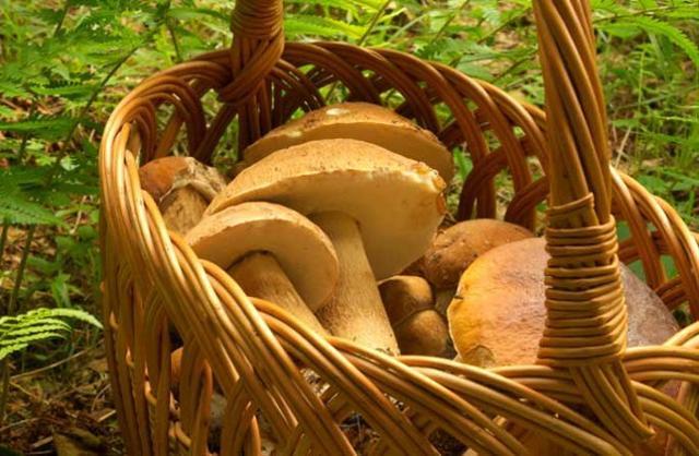 Usare un cesto di vimini per raccogliere i funghi è la maniera migliore affinché le loro spore possano cadere verso il suolo e fecondare nuovamente la terra...