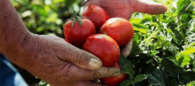 Il pomodoro rosso siccagno si raccoglie a partire dalla metà di luglio fino a fine agosto...