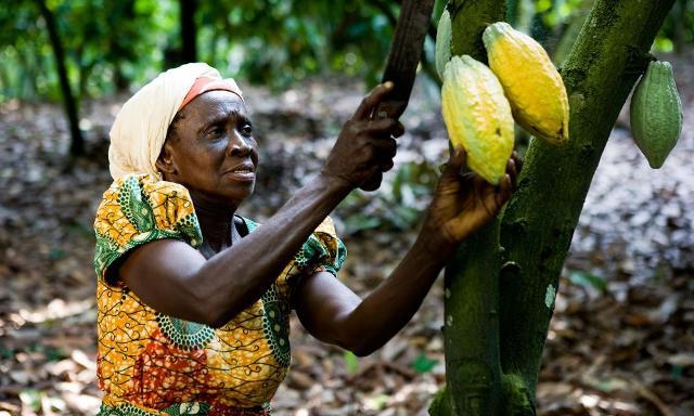 Raccolta del cacao in Ghana