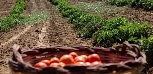 Fino a poco tempo fa, si credevano persi del tutto i pomodori tradizionali siccagni...