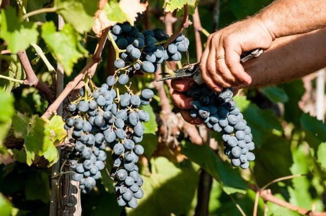 Raccolta di uve Nocera, l'uva principale per la produzione del Mamertino DOC