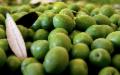 Il Co.Fi.Ol traccia il bilancio sullo stato di salute della filiera olivicola siciliana