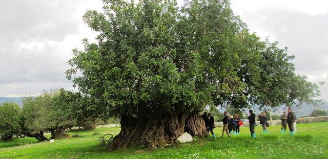 Il carrubo più grande e antico della Sicilia si trova in contrada Favarotta, tra Cava d'Ispica e Rosolini. L'albero, sito all'interno della tenuta Caschetto, secondo gli studiosi avrebbe circa 2000 anni