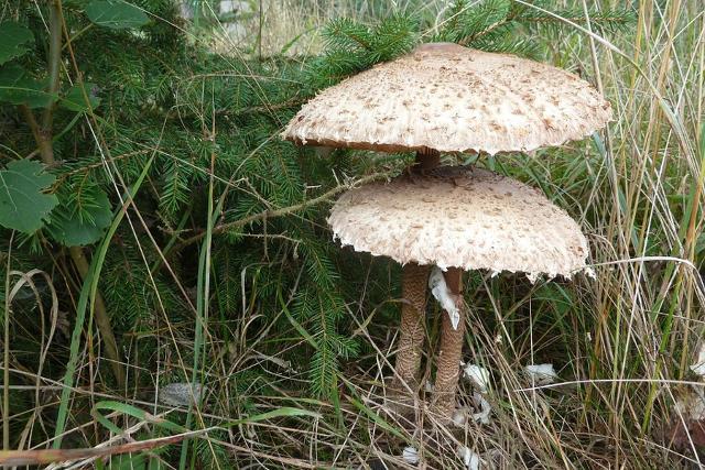 """I boschi della Riserva Sambughetti-Campanito sono ricchi di funghi a cappello (nella foto una coppia di """"mazza di tamburo"""")"""