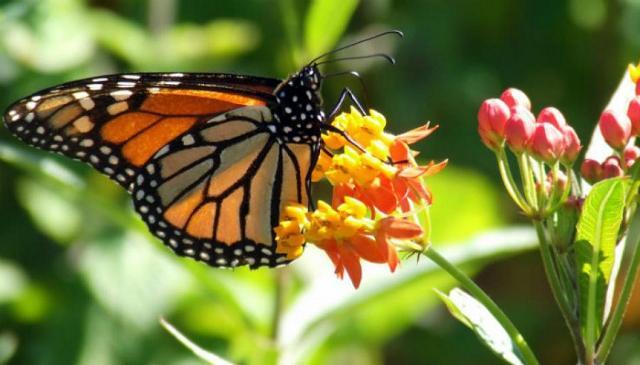"Una farfalla ""Monarca"""