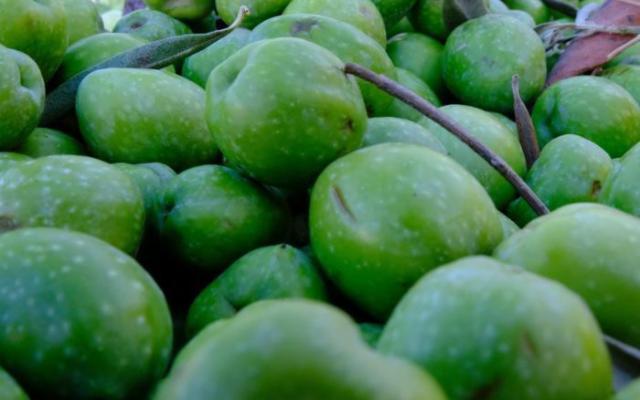 È tempo di olive ed olio nuovo! Al clou la campagna di raccolta in Sicilia
