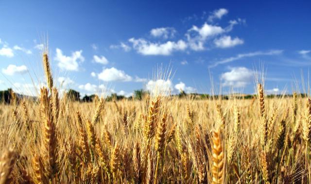 L'orzo è stato certamente il primo cereale ad essere coltivato...