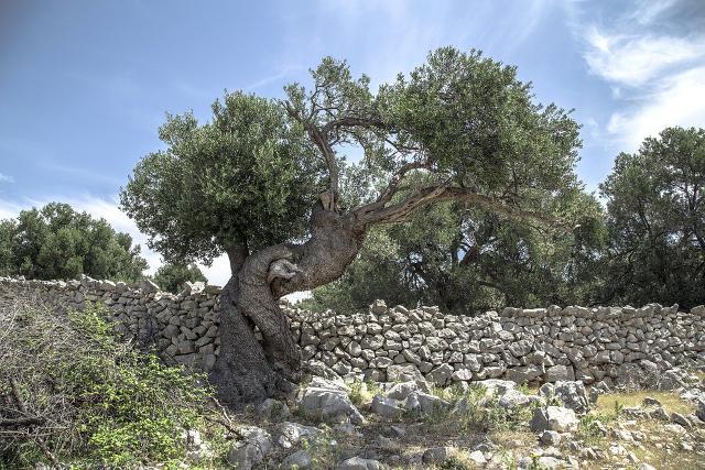 Muro a secco che costeggia un ulivo secolare