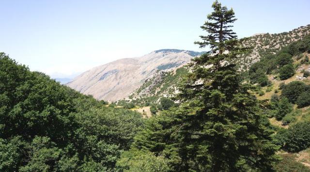 Abete delle Madonie, albero raro e pianta simbolo della Sicilia