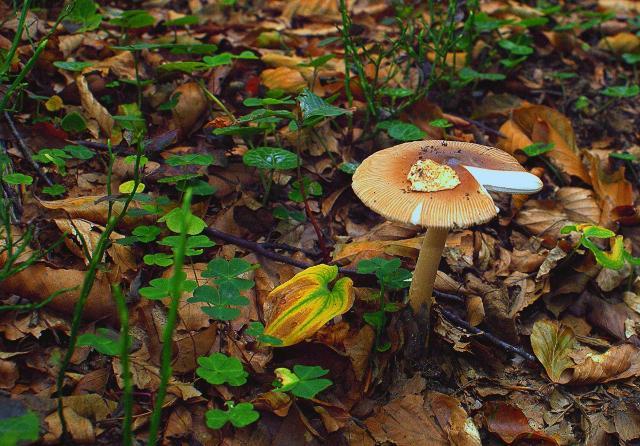 Un fungo nel sottobosco della Valle del Sosio