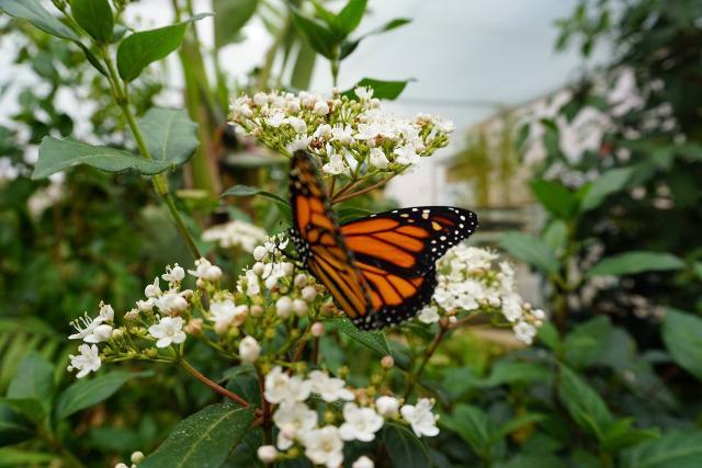 Monarch Danaus plexippus - Farfalla Monarca