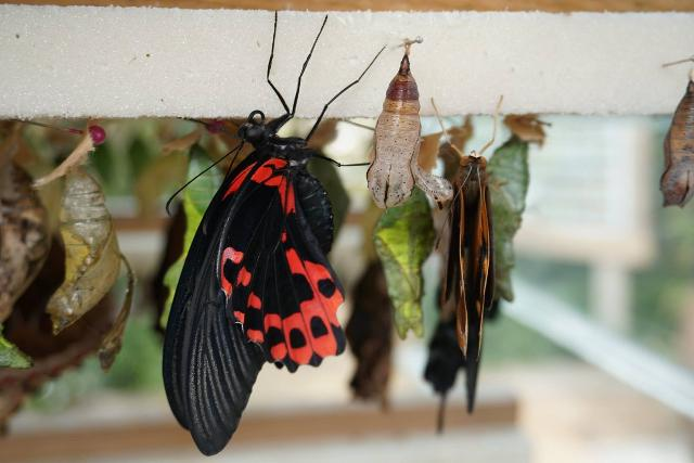 """Farfalle della famiglia delle """"Papilionidae"""" e alcuni bozzoli"""