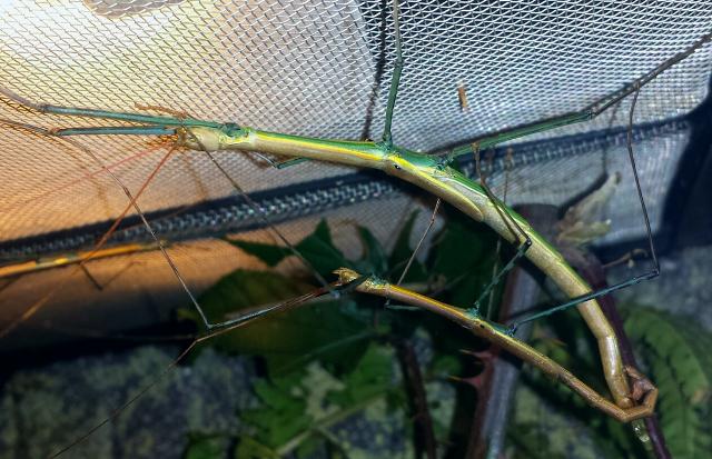 "Marmessoidea sp. ""Cat Tien"" - ph andibreeder.weebly.com"