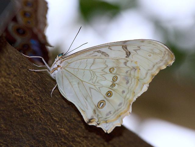 White Morpho (Morpho polyphemus), fotografata al Krohn Conservatory di Cincinnati - ph Greg Hume