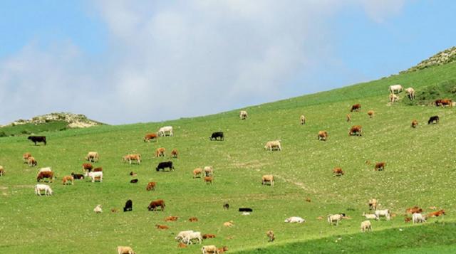 Bestiame al pascolo sulle Madonie