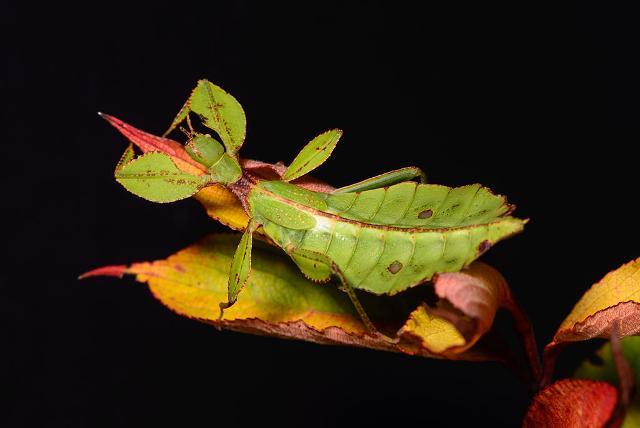 """""""Phyllium philippinicum"""" - ph Ebe.wiki"""