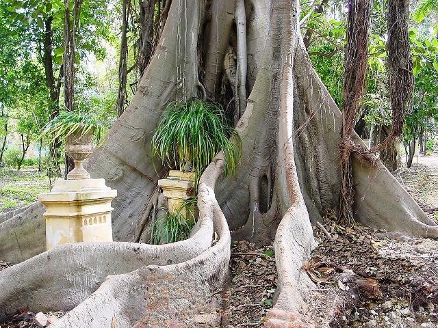 Radici laocoontiche del Ficus macrophylla - ph tato grasso