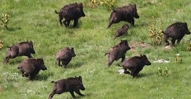 Gli animali selvatici stanno tornando ad impossessarsi della natura (un po' troppo)