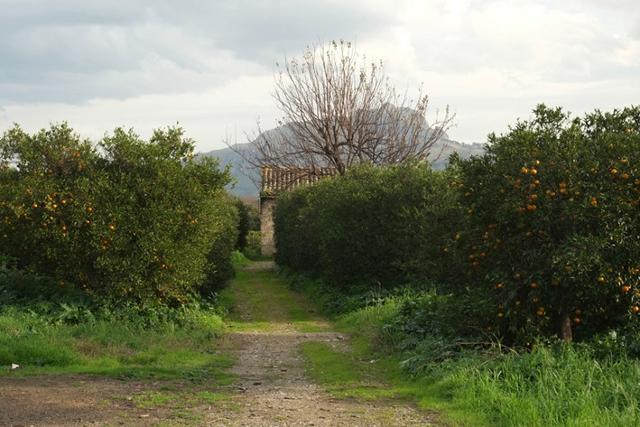 Agrumento nel giardino del Castello di Maredolce-La Favara